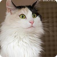 Adopt A Pet :: Patches-13061 - Richardson, TX