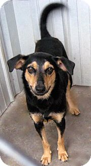 Shepherd (Unknown Type) Mix Dog for adoption in Tahlequah, Oklahoma - Little Gal