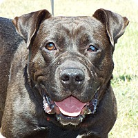 Adopt A Pet :: Dozer - Shelby, MI