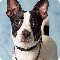 Adopt A Pet :: Virgil - Gilbert, AZ