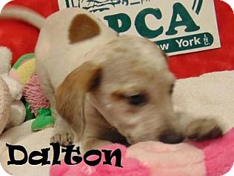 Labrador Retriever/Hound (Unknown Type) Mix Puppy for adoption in Ringwood, New Jersey - Dalton