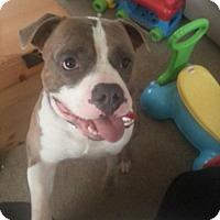 American Bulldog Mix Dog for adoption in Alpharetta, Georgia - Dustin
