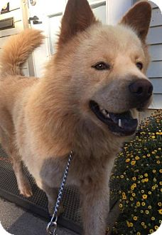Chow Chow Mix Dog for adoption in Livonia, Michigan - Bill