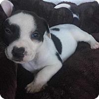 Adopt A Pet :: Tyler (Addys litter) - Wenonah, NJ