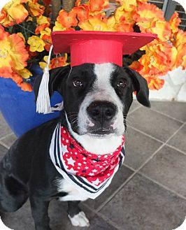 Labrador Retriever/Australian Shepherd Mix Puppy for adoption in San Antonio, Texas - Destin