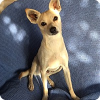 Chihuahua Mix Dog for adoption in Temecula, California - Dwayne