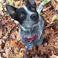 Adopt A Pet :: 23417 - Austin - Ellicott City, MD