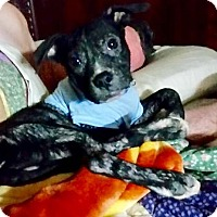Pit Bull Terrier Mix Puppy for adoption in Durham, North Carolina - Kai