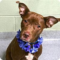 Adopt A Pet :: Mocha - Long Beach, NY
