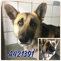 Adopt A Pet :: A421391 - San Antonio, TX