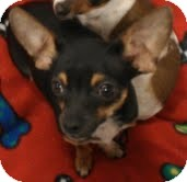 Chihuahua Dog for adoption in Phoenix, Arizona - Angus - burger brother!