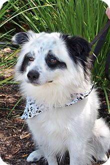 American Eskimo Dog Mix Dog for adoption in Mission Viejo, California - Bandit