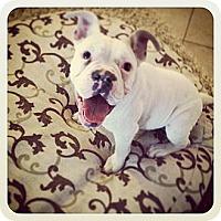 Adopt A Pet :: Opie-Adoption Pending - Phoenix, AZ