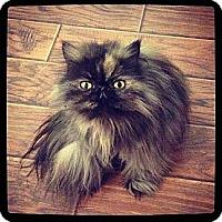 Adopt A Pet :: Valentine - Beverly Hills, CA