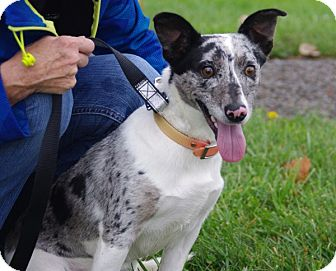 May | Adopted Dog | 14D09034 | Elyria, OH | Blue Heeler/Dachshund Mix