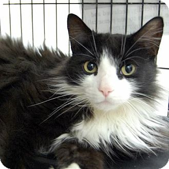 Domestic Longhair Cat for adoption in Barrie, Ontario - Oscar