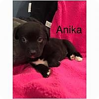 Adopt A Pet :: Anika - Marlton, NJ