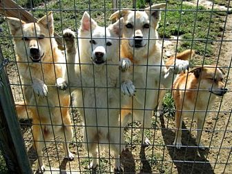 Golden Retriever Mix Dog for adoption in Poland, Indiana - Leno