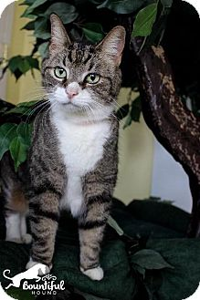 Domestic Shorthair Cat for adoption in Leonardtown, Maryland - Majestic