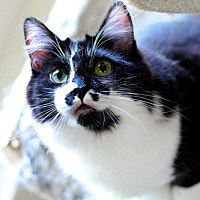 Adopt A Pet :: Figaro - Los Angeles, CA