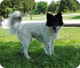 Border Collie Mix Dog for adoption in Parsons, Kansas - Dill