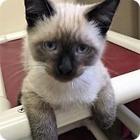 Adopt A Pet :: Kitten Icicle - Seal Beach, CA