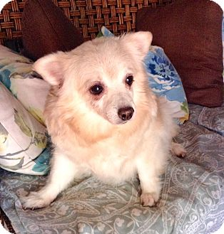 American Eskimo Dog/Pomeranian Mix Dog for adoption in Santa Ana, California - Joy