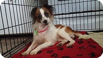 Papillon Mix Dog for adoption in Huntington, Indiana - Cinderella