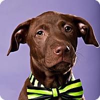 Adopt A Pet :: Jimin - Houston, TX