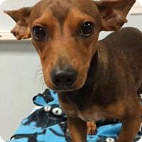 Adopt A Pet :: Bolt - Weston, FL