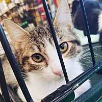 Adopt A Pet :: Dude - Phoenix, AZ