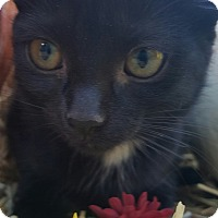 Domestic Shorthair Kitten for adoption in Oakland, Michigan - Frangelico - I'm playful!