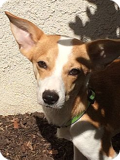 Fox Terrier (Smooth)/Chihuahua Mix Dog for adoption in Valencia, California - Rio