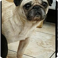 Pug Dog for adoption in Newark, Delaware - Roxie
