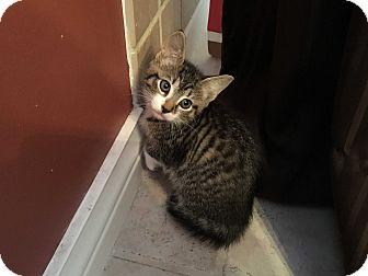 Domestic Shorthair Kitten for adoption in Trevose, Pennsylvania - Cougar