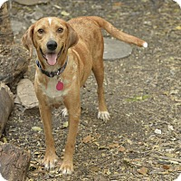 Adopt A Pet :: Bellatrix - San Antonio, TX