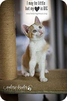 Domestic Shorthair Kitten for adoption in Columbia, Illinois - Meissa