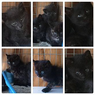Domestic Mediumhair Kitten for adoption in Mobile, Alabama - Black Kittens