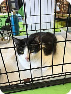 Domestic Mediumhair Cat for adoption in Seguin, Texas - Angel