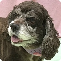 Cocker Spaniel Mix Dog for adoption in Evansville, Indiana - Holly