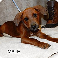 Adopt A Pet :: Avail12/9 Pen14 DachshundX 4mos Male Clic4Pics! - Sterling, MA