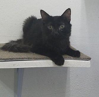 Domestic Mediumhair Kitten for adoption in Phoenix, Arizona - Tab