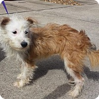 Adopt A Pet :: Dolly - Rocky Hill, CT