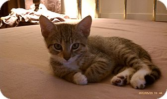 Domestic Shorthair Kitten for adoption in Morgan Hill, California - Tigerlily