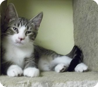 Domestic Shorthair Cat for adoption in Acme, Pennsylvania - Charlie