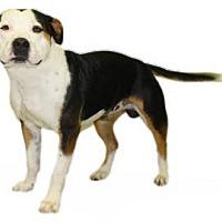 Adopt A Pet :: Hoosier - Inverness, FL