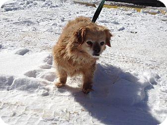 Pekingese Mix Dog for adoption in Elkins, West Virginia - Rolly