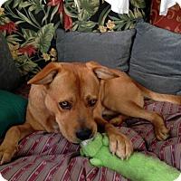 Adopt A Pet :: Ranger - Little Rock, AR