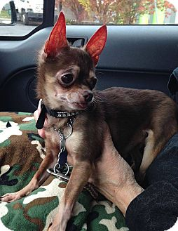 Chihuahua Dog for adoption in Bridgewater, New Jersey - Elroy