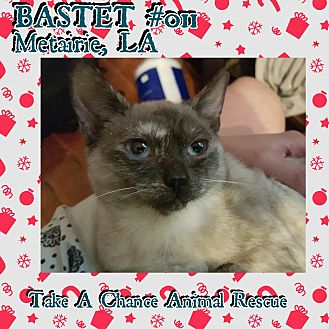 Siamese Cat for adoption in Metairie, Louisiana - Bastet